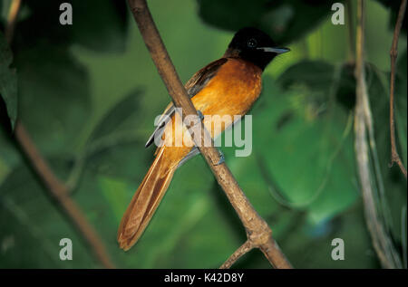 Red Bellied, Black Headed, Paradise Flycatcher, Terpsiphone rufiventer, female, on branch, West Africa. - Stock Photo