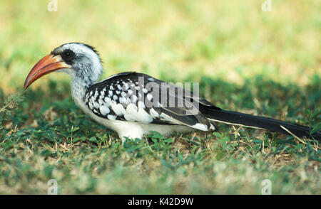Western Red Billed Hornbill, Tockus kempi, on grass, West Africa. - Stock Photo