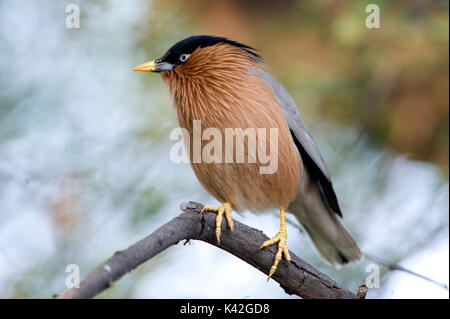 Brahminy Myna or Brahminy Starling, Sturnia pagodarum, Keoladeo Ghana National Park, Rajasthan, India, formerly - Stock Photo