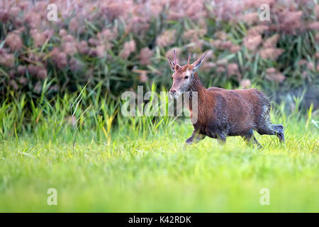 Wet red deer in a clearing, after rain - Stock Photo
