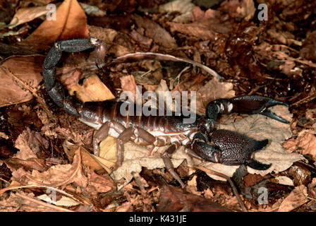 Giant Indian black scorpion, Heterometrus swammerdami, on forest floor, world's largest scorpion at 9 inches long - Stock Photo