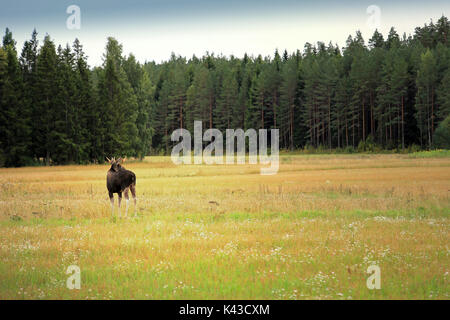 Moose stands on grassy meadow in front of forest in autumn, copy pace, focus on the animal. - Stock Photo