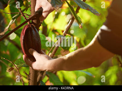 Harvest in cacao farm plantation closeup. Collect ready red cocoa pod Stock Photo