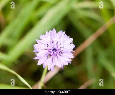 beautiful wild cornflower Centaurea cyanus blue purple; Essex; England; UK - Stock Photo
