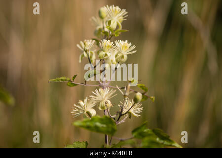 Traveller's-joy (Clematis vitalba) flowers. Climbing shrub in the buttercup family (Ranunculaceae), bearing attractive - Stock Photo
