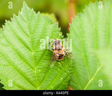 big yellow and black  Belted Hover fly on green leaf Volucella zonaria; Essex; England; UK - Stock Photo