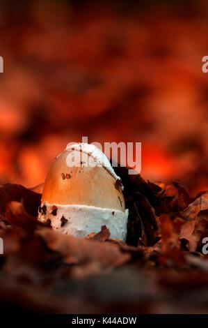 Mushroom in a woodland. Aveto valley, Genoa, Italy, Europe. - Stock Photo