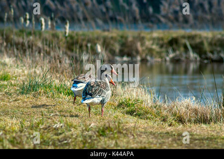 Two ducks on grass by a lake - Stock Photo