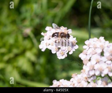 small cute hover fly on yarrow outside; Essex; England; UK - Stock Photo
