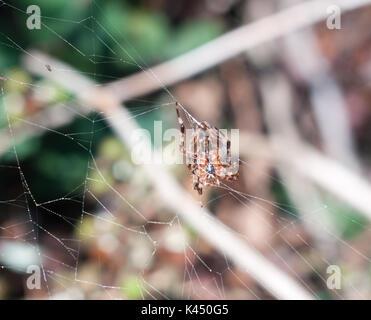 spider on web outside  European Garden Spider or Cross Orb-Weaver; Essex; England; UK - Stock Photo