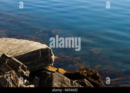 Kelp seaweed, growing close to the shore in the Barents sea in Northern Norway - Stock Photo