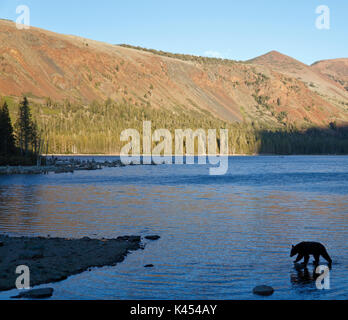 Black bear silhouetted in Lake Mary at  Mammoth Lakes Basin at sunset - Stock Photo