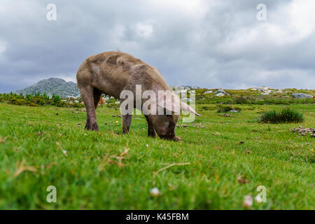 Pig on a juicy mountain meadow searching for food - Stock Photo