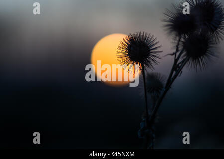 Wild thistles in the evening against a moody sky and the setting sun - Stock Photo