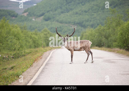 Reindeer along the middle of the road in Utsjoki, Lapland - Stock Photo