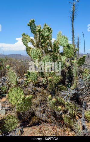 Nopal, or prickly pear growing in the central desert of Baja California, Mexico - Stock Photo