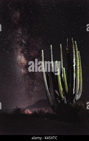 In the wild desert of Baja California stand some of the tallest cacti in the world but at night, even these giants - Stock Photo