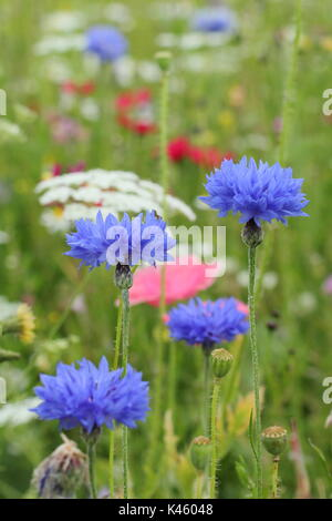 Blue cornflowers (Centaurea cyanus), Bishop's Flower (ammi majus) and Shirley poppies (papaver rhoeas) in an English sown meadow in summer (July), UK