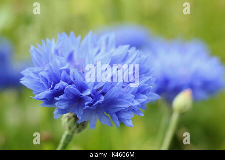 Blue cornflowers (Centaurea cyanus) in full bloom in an English meadow in summer (July), UK - Stock Photo