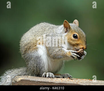 Close-up of a chubby Eastern gray squirrel (Sciurus carolinensis) clutching some tree bark in its paws while sitting - Stock Photo