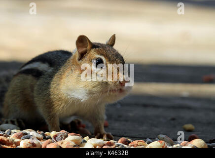 Close-up of Eastern chipmunk (Tamias striatus) stuffing its cheeks in early Spring - Stock Photo