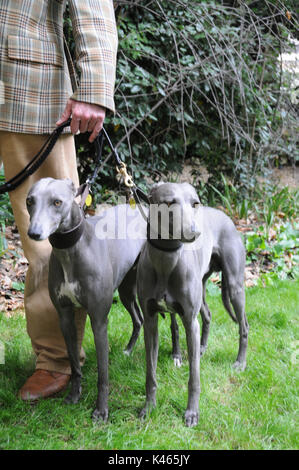 Whippets with handler, at the 2017, Chap Olympiad, London. - Stock Photo