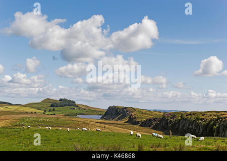 Sheep graze in the shadow of the Roman or Hadrian's Wall between Steel Rigg and Crag Lough in the Northumberland - Stock Photo