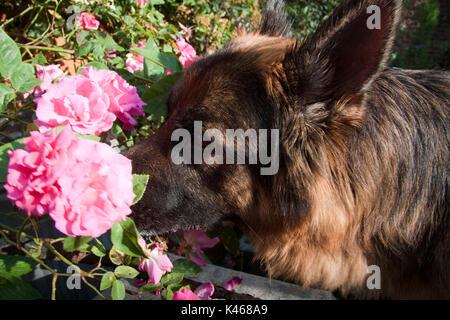 German Sheperd watching flower - Stock Photo