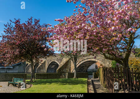 Cherry blossoms in full bloom in front of the old bridge in Ayr. - Stock Photo