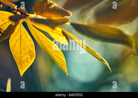 Diospyros kaki sylvestris in autumn at The Royal Botanical Garden. Madrid. Community of Madrid. Spain - Stock Photo