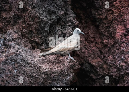 Brown noddy (Anous stolidus) standing on a rock ledge on a cliff on Rabida Island, Galapagos Islands, Ecuador, South - Stock Photo