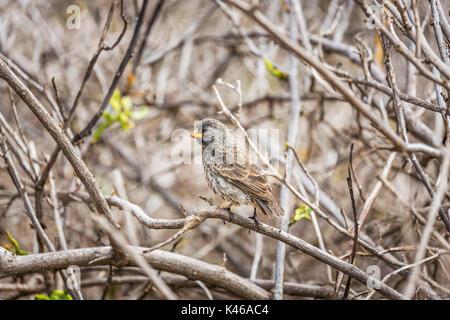 Small gound finch (Geospiza fuliginosa) perching on a branch, Rabida Island, Galapagos Islands, Ecuador, South America - Stock Photo