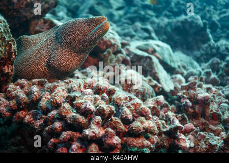 closeup of spotted moray eel, Gymnothorax moringa, swimming out of coral reef hiding place - Stock Photo