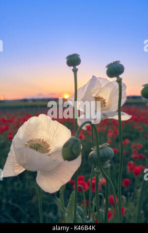 White opium poppy and red poppy flowers field. Getafe, Community of Madrid. Spain. - Stock Photo