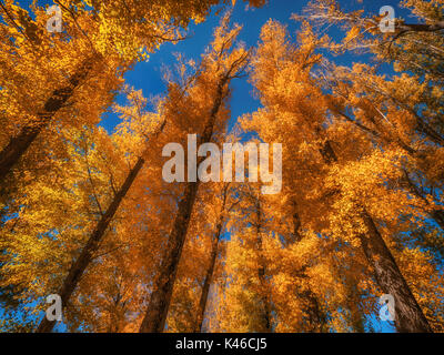 Low angle view of group of tall trees with brightly colored fall foliage set against a clear blue sky. - Stock Photo
