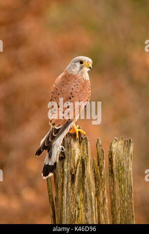 Common Kestrel - Falco tinnunculus, perched on a tree stump - Stock Photo