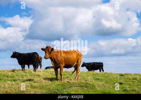 Herd of black and brown free-range dairy cows in a field in late summer. Isle of Anglesey, Wales, UK, Britain - Stock Photo