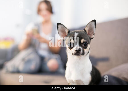 Close up portrait of small cute dog sitting at home. - Stock Photo