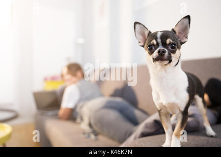 Close up portrait of small dog standing on couch with his owner using laptop on second plan. - Stock Photo