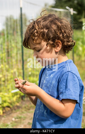 Four year old boy picking and examining Rattlesnake heirloom beans in a garden in Maple Valley, Washington, USA. - Stock Photo