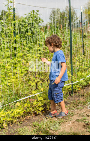 Four year old boy picking and eating Rattlesnake heirloom beans in a garden in Maple Valley, Washington, USA.  This - Stock Photo
