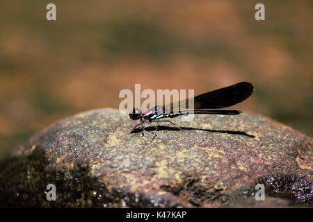 Dragonfly perched on the stone in Malang Indonesia - Stock Photo