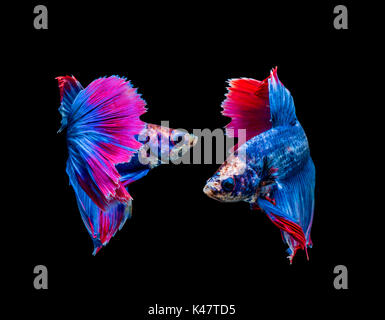 Betta splendens, siamese fighting fish isolated on black background - Stock Photo