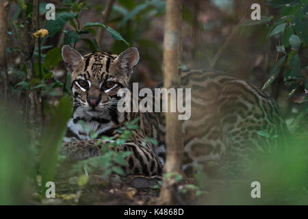 A wild Ocelot (Leopardus pardalis) from South Pantanal, Brazil - Stock Photo