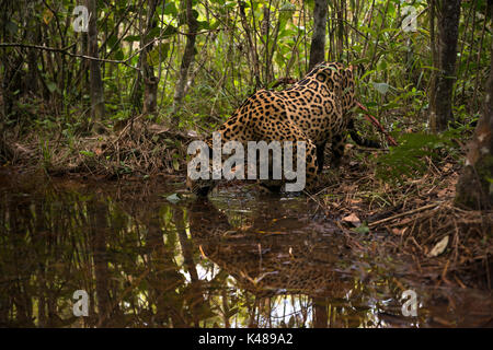 A Jaguar explores a small water creek inside a forest in Central Brazil - Stock Photo