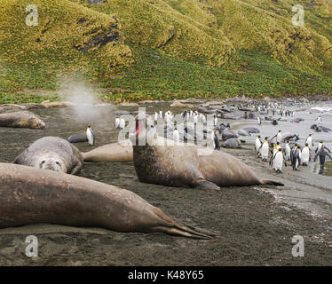Large adult male elephant seal with open mouth blowing steam into the air. Colony of king penguins in the background - Stock Photo
