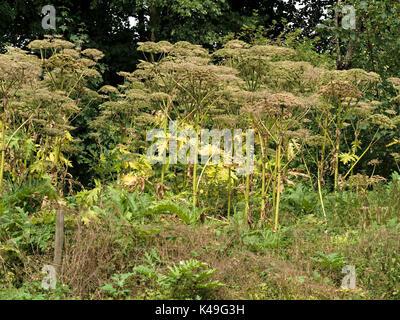 Giant Hogweed, Heracleum mantegazzianum growing on roadside verge - Stock Photo