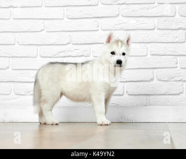 Interested siberian husky puppy, posing in studio. - Stock Photo