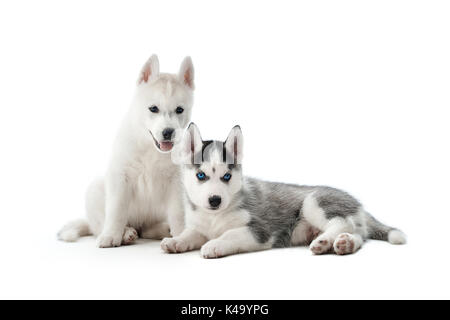 Two cute little puppies of siberian husky dog. - Stock Photo