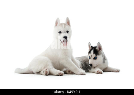 Two carried puppies of siberian husky dog posing at studio. - Stock Photo